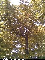 Dąb burgundzki (Quercus cerris) : Korona (2008.10.03)