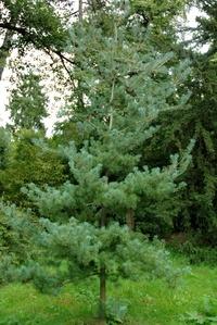 Sosna drobnokwiatowa (Pinus parviflora) :