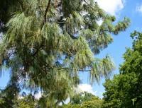 Sosna himalajska (Pinus wallichiana A.B. Jacks) :