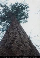 Daglezja zielona (Pseudotsuga menziesii) : Peiń (1995)
