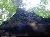 Daglezja zielona (Pseudotsuga menziesii) : Pień (2004.06.19)