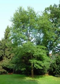 Dąb szkarłatny (Quercus coccinea) :