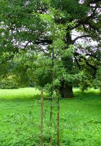 Dąb wierzbolistny (Quercus phellos) :