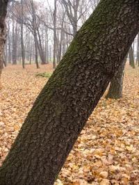 Brzoza ciemna (Betula pendula f. obscura) :