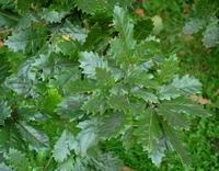 Dąb burgundzki (Quercus cerris) :