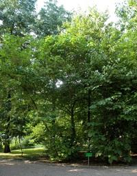 Styrak wielkolistny (Styrax obassia) : po prawej (po lewej i pośrodku styrakowiec)