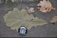 Dąb biały (Quercus alba) :
