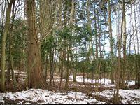 Cis pospolity (Taxus baccata) : Grupa drzew 2013.04