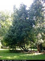 Żywotnik olbrzymi (Thuja plicata) : Drzewa (2005.08.31)