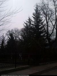 Cedr atlaski odm. srebrzysta (Cedrus atlantica 'Glauca') : 2013.04.12 - za świerkiem