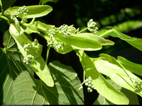 Lipa Maximowicza (Tilia maximowicziana) : 2013.06.07 Pąki kwiatowe