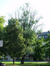Dąb kaukaski (Quercus macranthera FISCH. et MAY ) : Drzewo 2013.08.12