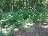 Kasztanowiec drobnokwiatowy (Aesculus parviflora) :