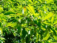 Magnolia japońska (Magnolia kobus) :