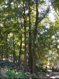 Miłorząb dwuklapowy (Ginkgo biloba) : Pnie drzewa
