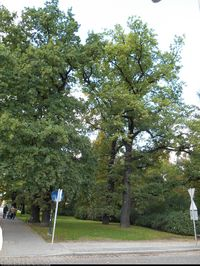 Dąb szypułkowy (Quercus robur) : Drzewa 2013.09.22