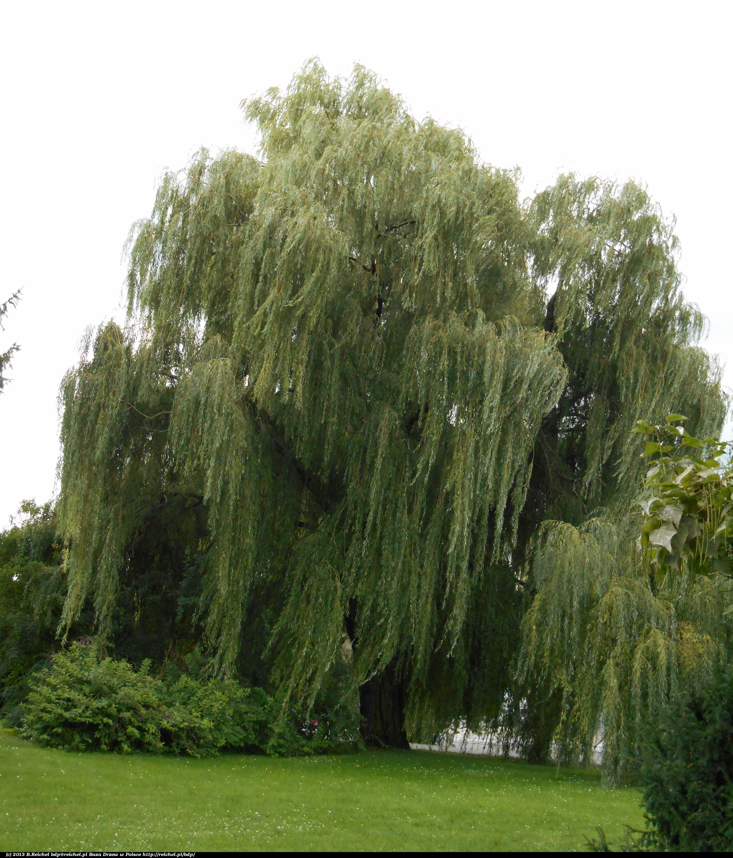 baza drzew w polsce wierzba bia a 39 tristis 39 p acz ca salix alba 39 tristis 39. Black Bedroom Furniture Sets. Home Design Ideas