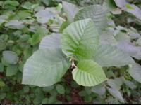 Olsza zielona (Alnus viridis) : Liście (2008.08)