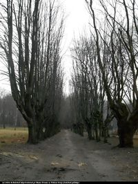 Lipa drobnolistna (Tilia cordata) :
