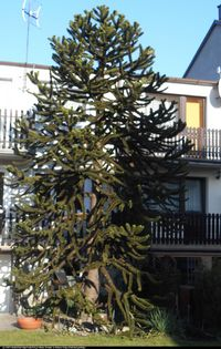 Araukaria czylijska (Araucaria araucana) : 2014.02