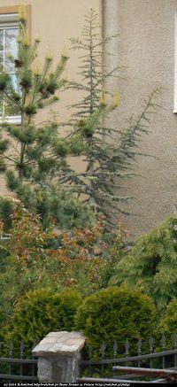 cedr atlaski błękitny (Cedrus atlantica Glauca) :