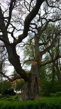 Dąb szypułkowy (Quercus robur) : Widok od wschodu
