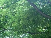 Klon palmowy (Acer palmatum) :