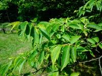 Grab japoński (Carpinus japonica) :