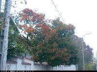 Głóg (Crataegus) : Krzew (2005.11.13)