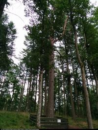 Sosna pospolita  (Pinus sylvestris) :