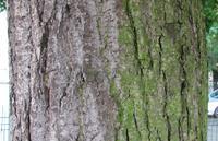 Lipa krymska (Tilia x euchlora) :