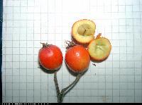 Głóg (Crataegus) : Owoce przekrojone (2005.11.13)