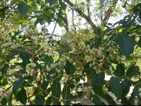 Ewodia koreańska (Tetradium daniellii) : Jako roślina miododajna, kwiaty oblepione pszczołami