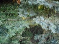 Jodła jednobarwna odm Lowa (Abies concolor var. lowiana) : Odmiana po lewej gatunek po prawej