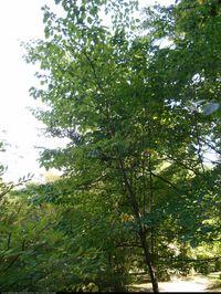 Styrak japoński (Styrax japonicus) :