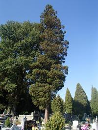 Cyprysik groszkowy 'Plumosa' (Chamaecyparis pisifera 'Plumosa') :