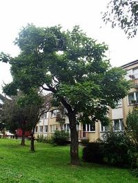 Surmia bignoniowa (Catalpa bignonioides) :
