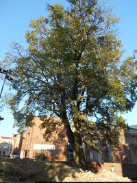 Klon pospolity (Acer platanoides) :