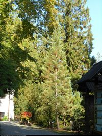 Mamutowiec olbrzymi (Sequoiadendron giganteum) : 2014.10