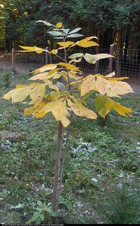 Orzesznik siedmiolistkowy (Carya laciniosa) :