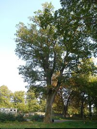 Dąb szypułkowy (Quercus robur) :