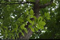 Dąb (Quercus x rosaecea) :