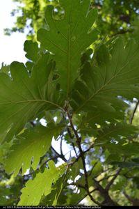 Dąb węgierski (Quercus frainetto) :