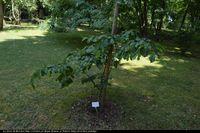 Parocja perska (Parrotia persica) :
