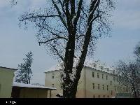Topola kanadyjska (Populus canadensis) :