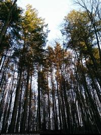 Daglezja zielona (Pseudotsuga menziesii) : Grupa drzew