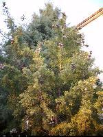 Cyprys (Cupressus stephensonii) : Drzewo (2009.01.11)