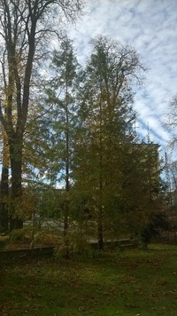 Metasekwoja chińska (Metasequoia glyptostroboides) : jesień 2016