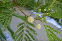 Mimoza biała (Leucaena leucocephala) :