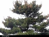 Sosna wejmutka (Pinus strobus) :